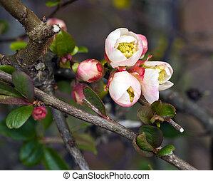 flowering quince; close-up; differential focus