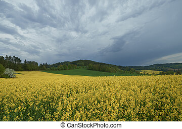 Flowering rape - The field of flowering oilseed rape....