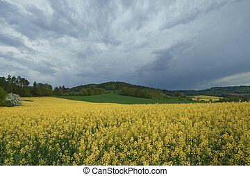 Flowering rape - The field of flowering oilseed rape. ...