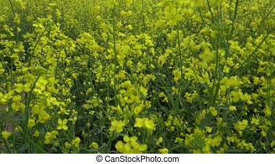 Flowering rapeseed field. - Detail of flowering rapeseed...