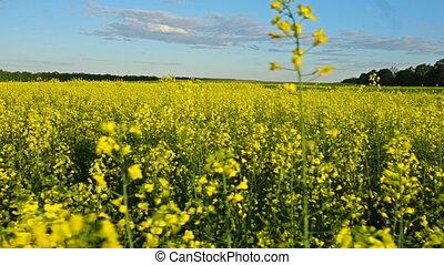 Flowering rapeseed field. Slow motion