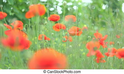 Flowering red poppies swaying on th