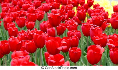 Flowering Red Tulips