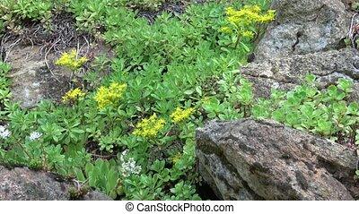Flowering rock garden in spring. Flowers blooming over rock...