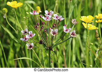 Flowering rush flowers and buttercups