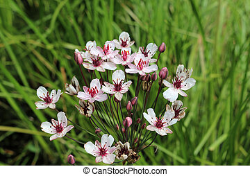 Flowering rush flowers in close up