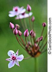 Flowering rush (Butomus umbellatus) on green