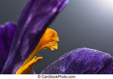 Flowering saffron, spice, close-up, background