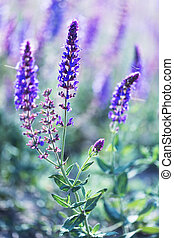 Flowering sage close up, vertical photo