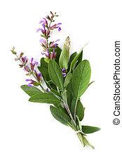 Flowering Sage - Flowering sage, tied with string, against...
