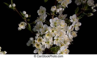 Flowering sakura flowers