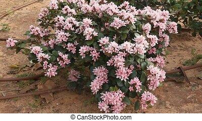 Flowering shrub. Drip watering - Flowering shrub. Point drip...