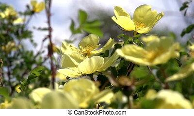 Flowering Shrub Rose Hips