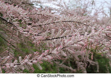 flowering shrub with small pink flowers