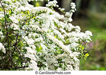Flowering shrub with small white flowers. Spring flowering.