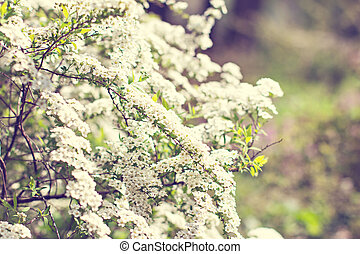 Flowering shrub with small white flowers. Spring flowering.
