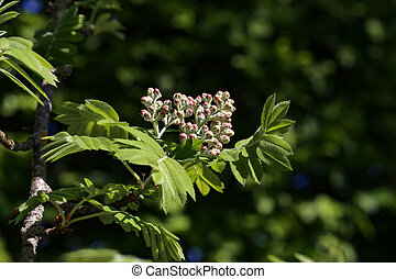 Flowering Sorbus domestica
