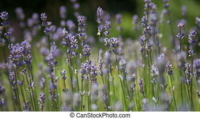Flowering sprigs of lavender