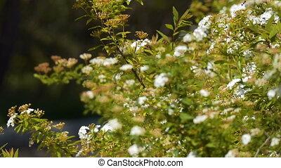 Flowering Spring Shrub - Flowering spring bush. Beautiful...