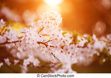 Flowering spring trees. Sunset in spring or summer landscape...