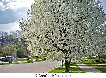 Flowering Suburbs - Wild Plum Tree Blossom. Early Spring...