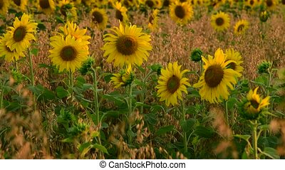 flowering sunflowers in a field in rays of setting sun -...
