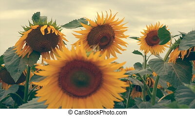 flowering sunflowers on a background sunset.