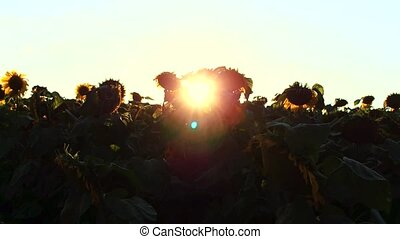 Flowering Sunflowers on a Background Sunset in 4k