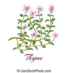 Flowering thyme. Thyme herb. - Flowering thyme. Thyme herbs...