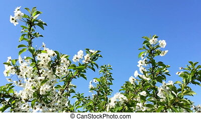Flowering tree branches with flower of white color. Swinging...