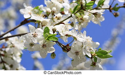 Blooming Apple Tree - Flowering Tree In A Sunny Garden....