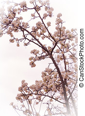 Flowering tree in the early spring - Pink dogwood tree...