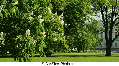 flowering tree in the park - Spring flowering tree in the...