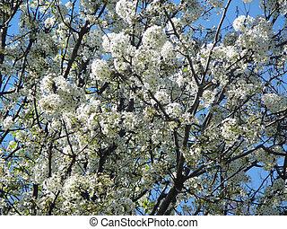 Flowering Tree - Flowering tree.