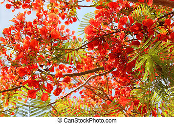 flowering tree red acacia as a natural background