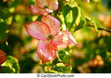 Flowering Tree in Washington State, USA. Pink Flowers...