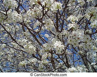 Flowering Tree - Crepe Myrtle Flowering Tree