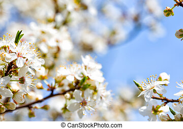flowering tree apricot closeup