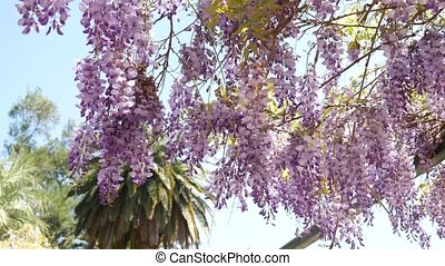 Flowering tree wisteria in Montenegro, the Adriatic