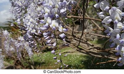Flowering tree wisteria in Montenegro, the Adriatic and the Balk