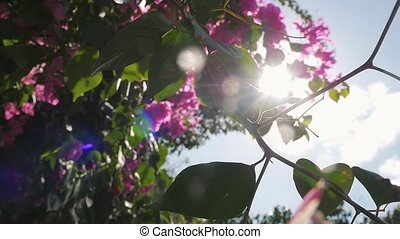 Flowering tree with pink flowers and lens flare on the wind...