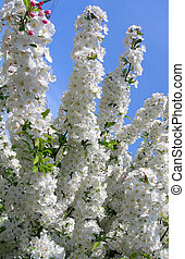 Flowering trees in spring - Blossoms on white flowering...