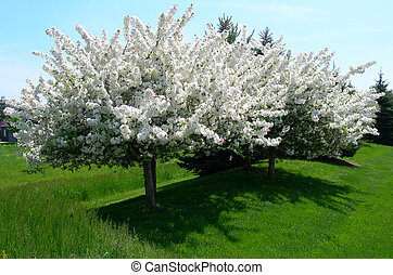 Flowering trees in spring - Flowering tree in spring with...