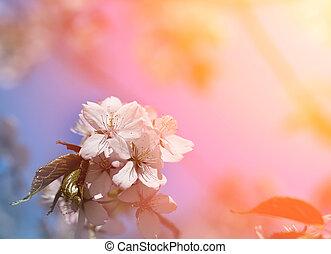 Flowering trees Sakura - Beautiful flowering trees Sakura...
