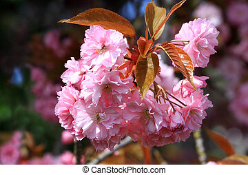 Flowering trees - Trees with beautiful spring flowers