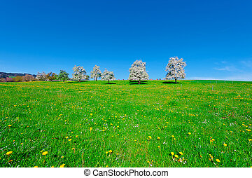 Flowering Trees - Grazing Cows and Flowering Trees...
