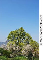 Flowering trees in spring, Bergamo, Lombardy, Italy