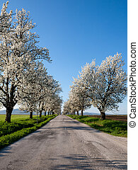 Flowering trees - Country road lined with beautiful...