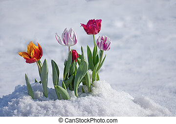 Flowering tulips under the snow