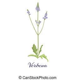 Flowering verbena. Blossom, flowers and leaves Vector illustration